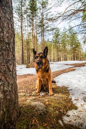 Dog German Shepherd in the forest in a day of an early spring Archivio Fotografico - 132934904