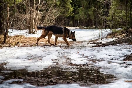 Dog German Shepherd in the forest in a day of an early spring Archivio Fotografico - 132934481