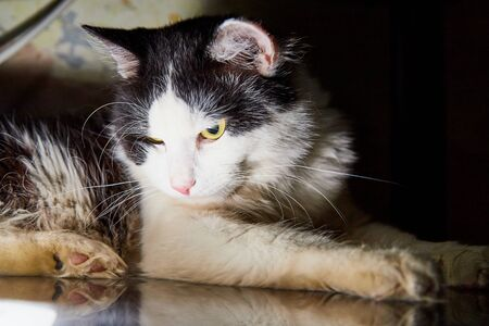 Black and white pet cat with big and long mustaches lying and resting in a secluded place in the room Stockfoto