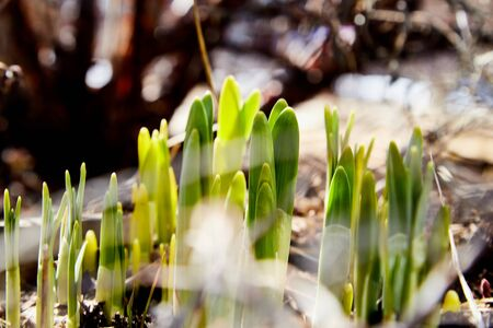 Sprouts of green grass on brown ground in early spring. Macro and closeup