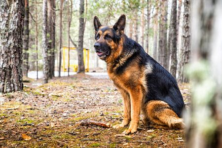 Dog German Shepherd in the forest in a day of an early spring 版權商用圖片 - 133773055