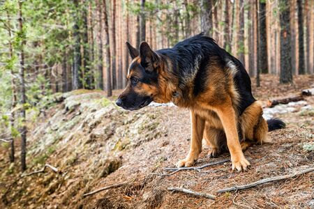 Dog German Shepherd in the forest in a day of an early spring 版權商用圖片