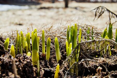 Sprouts of green grass on brown ground in early spring. Macro and closeup 版權商用圖片 - 133773087