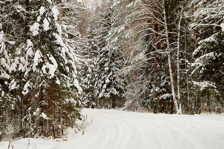 Snow covered trees in a winter forest and white road between them. White landscape in a cold day 版權商用圖片 - 133773089