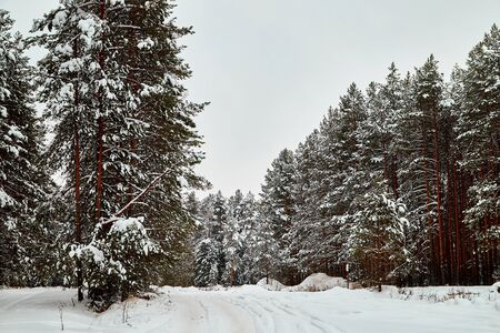 Snow covered trees in a winter forest and white road between them. White landscape in a cold day 版權商用圖片 - 133773107
