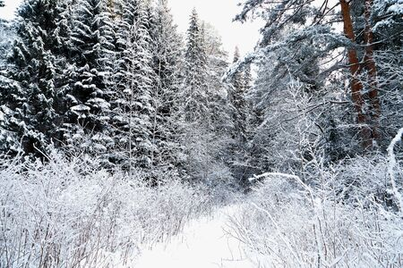 Snow covered trees in a winter forest. White landscape in a cold day