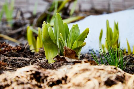 Sprouts of green grass on brown ground and snow in early spring. Macro and closeup Stockfoto