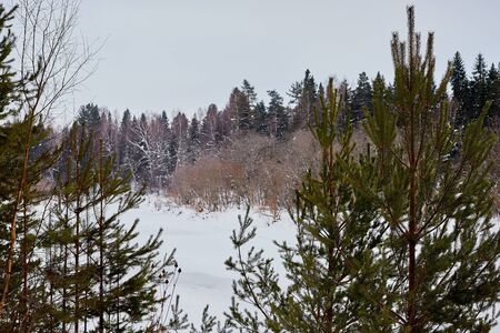 Trees in a winter forest and wnow arround. White landscape in a cold day
