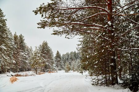 Snow covered trees in a winter forest and white road between them. White landscape in a cold day Banque d'images - 135493515