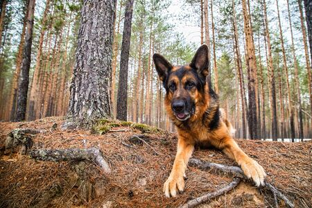 Dog German Shepherd in the forest in a day of an early spring Reklamní fotografie