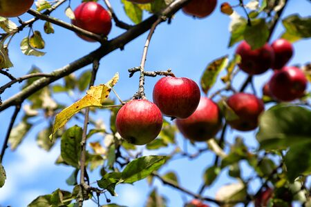 Apple on trees in fruit garden in a summer or autumn day Archivio Fotografico - 136980439