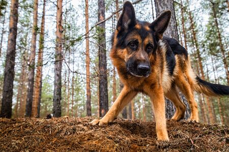Dog German Shepherd in the forest in a day of an early spring Archivio Fotografico - 136980460