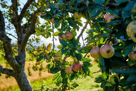 Apple on trees in fruit garden in a summer or autumn day Archivio Fotografico - 136980474