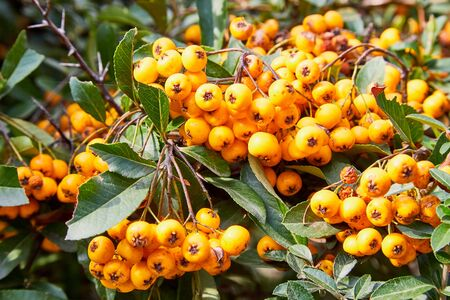 Yellow orange rowan berries hanging from tree. Large orange berries on the tree closeup on a background of autumn green leaves Archivio Fotografico - 136980526