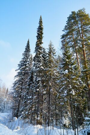 Winter forest and snow covered trees in it in a sunny day. White landscape in a cold day Archivio Fotografico - 137052713