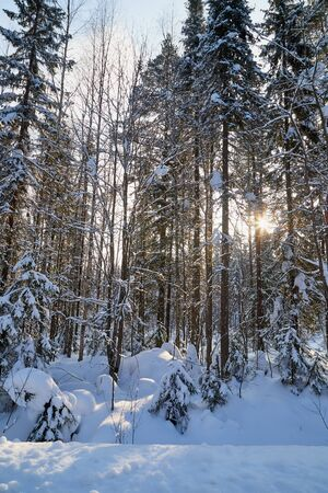 Winter forest and snow covered trees in it in a sunny day. White landscape in a cold day