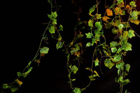 Black background with green lianas and plants with lighting for photo shoots