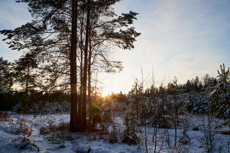 Winter forest with snow covered trees in a cold day and sunset with sun on the background