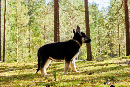 Small German shepherd puppy in a forest in a nice day. Baby animal walks on nature