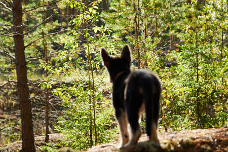 Small German shepherd puppy in a forest in a day. Baby animal walks on nature