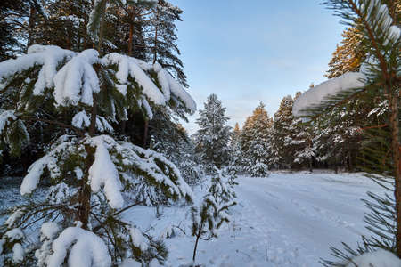 Pine or spruce tree covered with snow in forest in cold evening