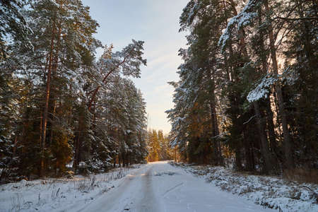 Snow road in spruce forest in winter day. Nature ladscape
