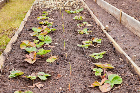 Freshly prepared raised vegetable bed on allotment in rural place