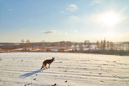 Dog German Shepherd in winter field with snow in cold day with sun