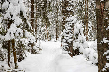 Snow covered trees in forest in winter day