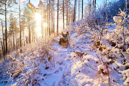 Dog German Shepherd in winter forest with snow and sun during sunset on sunrise in cold day with sun