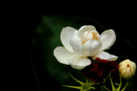 readily: Little jasmine flower
