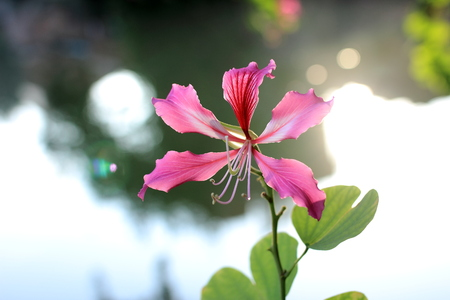 Bauhinia flowers on the riverbank