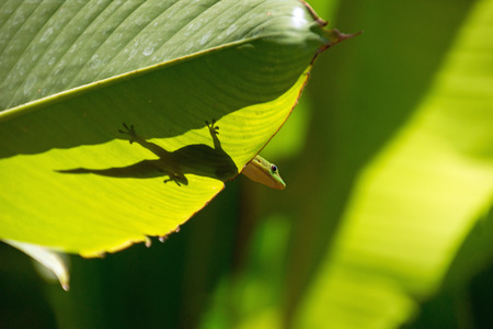 Lizard in backlight, La Reunion Island photo
