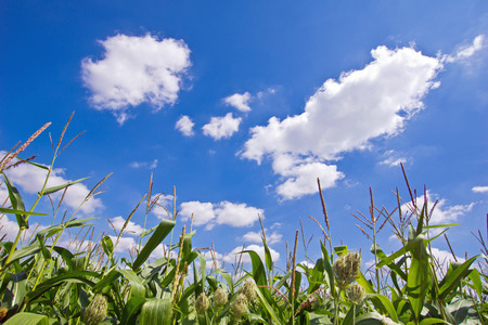 non cultivated: Clouds above the corn field Stock Photo