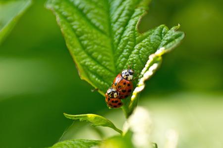 coccinella: Red ladybug  Coccinella septempunctata  on the leaf