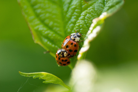septempunctata: Red ladybug  Coccinella septempunctata  on the leaf