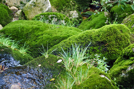 Small stream with stones covered with moss photo