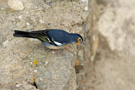 ruiseñor: Hermosa ave pequeña antes del despegue