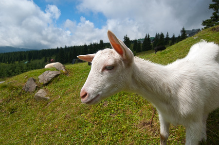 Goat on the Mountain photo