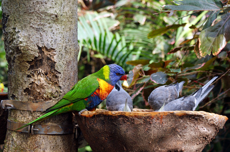 Colorful Rainbow Lorikeet in Tenerife photo