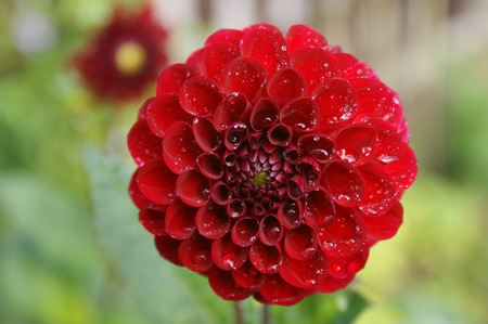 Red dahlia with water drops photo