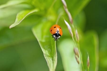 septempunctata: Red ladybug  Coccinella septempunctata