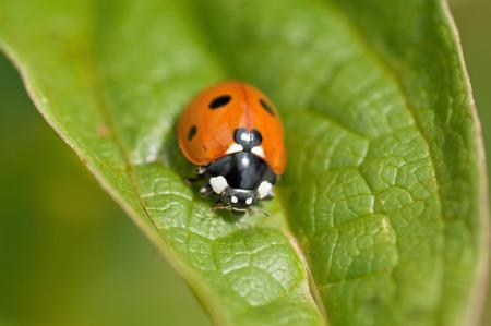 coccinella: Red ladybug  Coccinella septempunctata