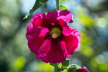 alcea: Una bella flor de malva Alcea rosea Foto de archivo