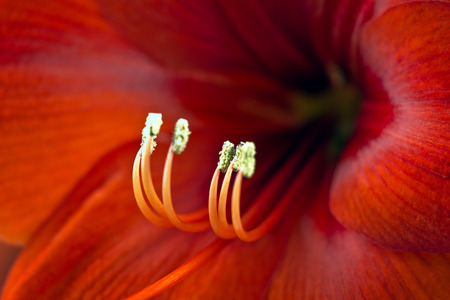 Macro from a red Amaryllis photo