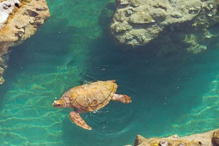Sea Turtle swim in water at Reunion island