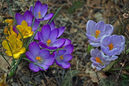 Crocus yellow, purple and blue photo