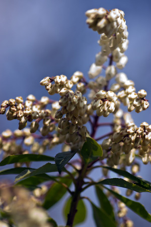 pieris: Pieris japonica, flowers in the garden