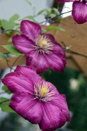 shallow: Clematis climbing plant in a garden