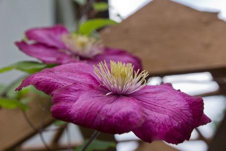 Clematis in a garden photo